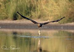 black kite fishing (TARIQ HAMEED SULEMANI) Tags: sulemani supershot sensational summer tariq tourism trekking tariqhameedsulemani travel wildlife birds nature nikon jahanian