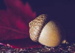 Dreams are like acorns-- (Fire Fighter's Wife) Tags: acorn leaf autumn nature fall wood macro sidelighting olympus sidelit happymacromonday macromondays hmm dark microfourthirds micro mft shadows shadowsandlight popofcolor color colorpop colorful
