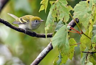 Chestnut-sided Warbler ♀ - Paruline à flancs marron ♀ - Setophaga pensylvanica (D72_2708-1F-20170805)
