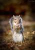 Scoiattolo (Christian Papagni | Photography) Tags: legnano lombardia italia it canon eos 7d mark ii ef100mm f28l macro is usm squirrel scoiattolo parco castello