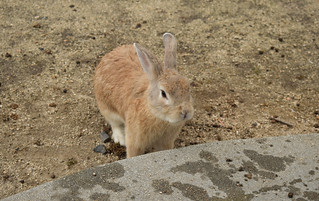 Feral rabbit (Oryctolagus cuniculus)