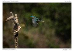 L'Allier sauvage - Martin pêcheur (BerColly) Tags: france auvergne puydedome allier riviere river oiseau bird martinpecheur commonkingfisher vol flight bercolly google flickr birdwatcher