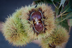october's gift (danilo.arigo) Tags: castagna riccio frutto ottobre spinoso foglie sagra barba