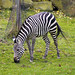 Cleveland Metroparks Zoo 11-11-2014 - Grants Zebra 3
