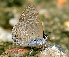 Pointed Ciliate Blue (Anthene lycaenina) (RamaWarrier) Tags: kallar trivandrum ponmudi pointed ciliate blue meenmutty water falls macro