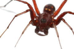 Behavioural ant mimic (Lacewing!) Tags: quinkan bush blitz laura queensland australia zodariidae arachtober wildlife captive nature