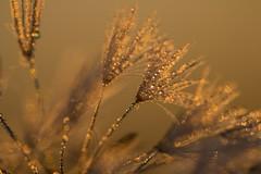 Glittering dew