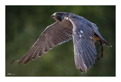 Bird of Prey - the original of nature (mmsig) Tags: bomlitz niedersachsen deutschland de animal planet bird prey flying zoo walsrode ausflug flugshow falke eos 60d ef100400 germany