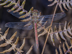 _IMG1124Common Darter (Pete.L .Hawkins Photography) Tags: common darter sympetrum striolatum petehawkins petelhawkinsphotography petelhawkins petehawkinsphotography pentax 100mm macro pentaxpictures pentaxk1 fantasticnature fabulousnature incrediblenature naturephoto wildlifephoto wildlifephotographer naturesfinest unusualcreature naturewatcher insect invertebrate bug 6legs compound eyes creepy crawly uglybug bugeyes fly wings eye veins flyingbug flying hatfield moors
