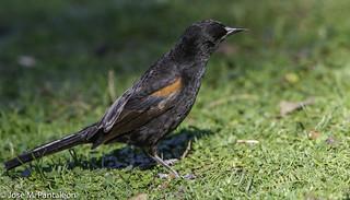 2-(LIFER)Como en todos los Icterus predomina el color negro con zonas naranjas, amarillas o rojas, un pico fino y la gran mayoría para no decir todas son libadoras de Nectar!!