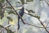 Greater Racket-tailed Drongo (steve happ) Tags: calicut dicrurusparadiseus greaterrackettaileddrongo india kerala kozhikode sarovarambiopark