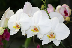 Putting on a show (Karen Pincott) Tags: flowers flowersplants newzealand wellington begoniahouse botanicgardens orchid flower orchids