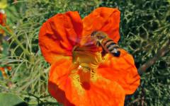 Honey bee and nasturtium (TJ Gehling) Tags: insect hymenoptera bee apidae honeybee apis flight insectflight beeinflight plant flower brassicales tropaeolaceae naturtium tropaeolum communitygarden fairmontpark centennialpark elcerrito
