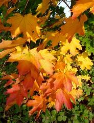 Maple leaves (picqero) Tags: broxbourne hertfordshire foliage nature forest