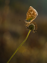 Adonis Blue.. (trevorwilson1607) Tags: adonisblue butterfly insect earlymorning predawn polyommatusbellagrus morninglight smallhandmadereflector olympusgear lepidoptera