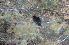 Green Heron (Butorides virescens) (PanzerVor) Tags: birds birding bird nature preserve viewing outdoor pentax green heron butorides virescens