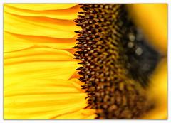 A Little Sunshine... (Silke Klimesch) Tags: smileonsaturday tinytreasuresinflora sunflower sonnenblume closeup macro bokeh makrofotografie nahaufnahme olympus omd em5 mzuikodigitaled60mm128macro microfourthirds