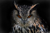 dark owl (F VDS) Tags: owl bird birdofprey orange eyes animal nature captive bubobubo rapace nocturne eagleowl eurasian predator aves european nocturnal grumpy feathers focus nikon nikkor d500 200500 f8 look beauty predateur grandduc portrait portret hibou mighty bubo highpasssharpening threatening dark sharp dx uil oehoe prooivogel