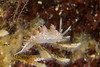 Red Flabellina (Flabellina trophina) (jonmcclintock) Tags: underwater sunshinecoast travel britishcolumbia canada adventure scuba diving strongwater