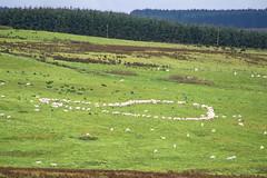 Woollen Heart  [Explore] (Eskling) Tags: heart shape sheep feeding hills coantrim green grass northern ireland