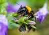 Hummel/ bumblebee (Bombus terrestris (karlbryr) Tags: hummel bumblebee ef100mm f28l macro is usm canon 70d