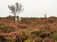 A walk over Eyam Moor (Cerdic Elesing) Tags: kodakektar solo sheep england tree moorland flower derbyshire heather farmanimal eyam peakdistrict xequals hathersage unitedkingdom gb