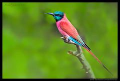 Beauty of The Nature (asifsherazi) Tags: carminebeeeater lakebaringo kenya asifsherazi nikonsafari camtronx
