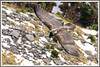 Gypaète jeune 171026-00-P (paul.vetter) Tags: oiseau ornithologie ornithology faune animal bird gypaètebarbu gypaetusbarbatus bartgeier quebrantahuesos beardedvulture vautour rapace