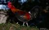 Canon269444 (godrudy6661) Tags: neworleans darktable ninthward chicken rooster