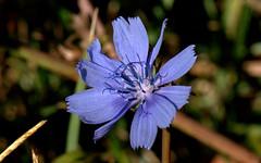 Common Chicory - Cicoria selvatica ( Chicorium intybus )_011 (by emmeci) Tags: fiore piantaerbacea chicoriumintybus cicoriaselvatica commonchicory