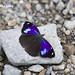 Butterfly, Manu Biosphere Reserve