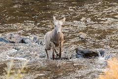 Bighorn Sheep ram bounding across the river