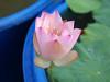 Nelumbo nucifera 'Boli Gongzhu' Lotus Wahgarden Thailand 3 (Klong15 Waterlily) Tags: nelumbo nelumbonucifera lotus thaillotus chainalotus pinklotus pond lanscap flower lotusflower