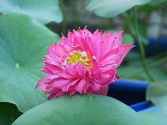 Nelumbo nucifera 'Russell' Wahgarden Thailand 18 (Klong15 Waterlily) Tags: russell nelumbo sacredlotus lotus lotusflower flower landscape wahgarden