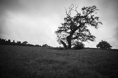 Be ready (Anxious Silence) Tags: thechilterns crowsleypark chilternhills blackandwhite landscape nature tree countryside rural