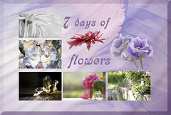 7 days of flowers (Elisafox22 A bit ON/OFF at the moment!) Tags: elisafox22 october 2017 collage 7daysofflowers snapshot images flowers gerbera lisianthus chrysanthemum apple appleblossom rhododendrons red clematis galdioli vinci ipad summary thumbnails border autumn photoshop elisaliddell©2017