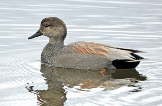 Gadwall...a lovely male