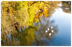 Cygnes sur l'Orne (Pascale_seg) Tags: paysage landscape river riverscape orne moselle lorraine france automne autumn tree orange calme cygnes calm reflet reflection