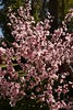 Cherry blossom (Val in Sydney) Tags: wisteria festival australie australia nsw parramatta park cumberland hospital flower
