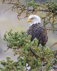 Bald Eagle (Brandon Downing) Tags: eagle tree bald nature nikon wildlife birds raptors outdoors lens ligt wings feather national symbol usa america love jesus