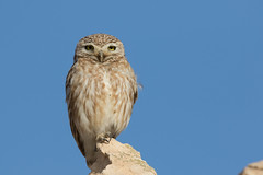(Explore) Little owl (Athene noctua lilith) כוס החורבות (Ron Winkler nature) Tags: little owl athenenoctualilith athenenoctua athene noctua lilith כוס החורבות bird birds birdwatching birding aves israel animal wildlife nature canon 7dii 100400ii explore explored