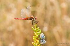 Amb un parell de ... cargols - Con un par de ... caracoles (McGuiver) Tags: canon canoneos60d canon100macro macro wildlife deltadelebre deltadelebro ebrowetlands sympetrum fonscolombii libelula libel·lula dragonfly nature snail