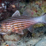 Intermediate Cardinalfish  incubating eggs - Cheilodipterus intermedius thumbnail
