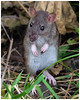 Brown Rat (tina777) Tags: brown rat rodent animal creature cute eyes nose whiskers ears feet paws standing looking stood claws muddy grass foliage leaf undergrowth alert sweet ratty fur barry island vale glamorgan south wales