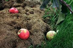 Apples (Ігор Кириловський) Tags: apples c41 khmelnytski ukraine slr nikonf5 af zoomnikkor 28105mmf3545d film kodak colorplus200 promaster spectrum 7uv nikon f5