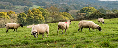 20171015-IMGP0802 (rob mulf) Tags: nymans landscapes sheep pentax westsussex greatbritian england outdoors nature