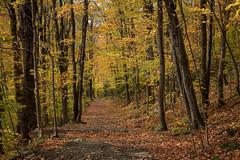 Yellowy Path (Aymeric Gouin) Tags: canada québec sutton parc park woods foret bois forest arbre tree foliage feuillage jaune yellow path chemin hiking randonnée paysage landschaft paisaje landscape travel voyage fujifilm xt2