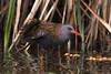 Waterral (Luciën Reyns) Tags: waterral pentaxk1 pentaxda300mm pentax vogel watervogel bird glennvermeersch kalmthout belgië ral