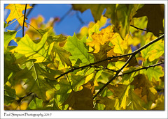 Autumn Leaves (Paul Simpson Photography) Tags: leaves nature bluesky paulsimpsonphotography imagesof imageof tree autumn fall autumnal coloursofnature naturalworld twigs sonya77 sonyphotography leaf october 2017