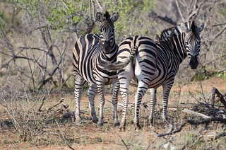 Zebra's gaze